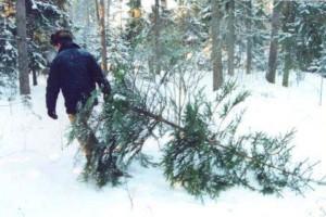 Перед Новым годом милиционеры изъяли почти 30 тыс. хвойных деревьев