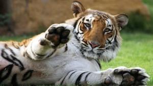 Тигр задрал дрессировщика