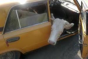 В запорожской области украли и продали двух коров