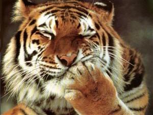 В Крыму ребенок попросил папу погладить тигра. Тигр откусил папе палец