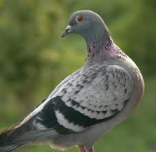 На Кировоградчине заключенным наркотики передавал... голубь