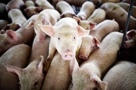 В Ленинградской области свиноферму сносили взрывом