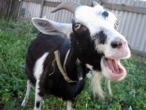 Насильник козы получил по заслугам