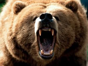 На Камчатке ловят медведя-людоеда